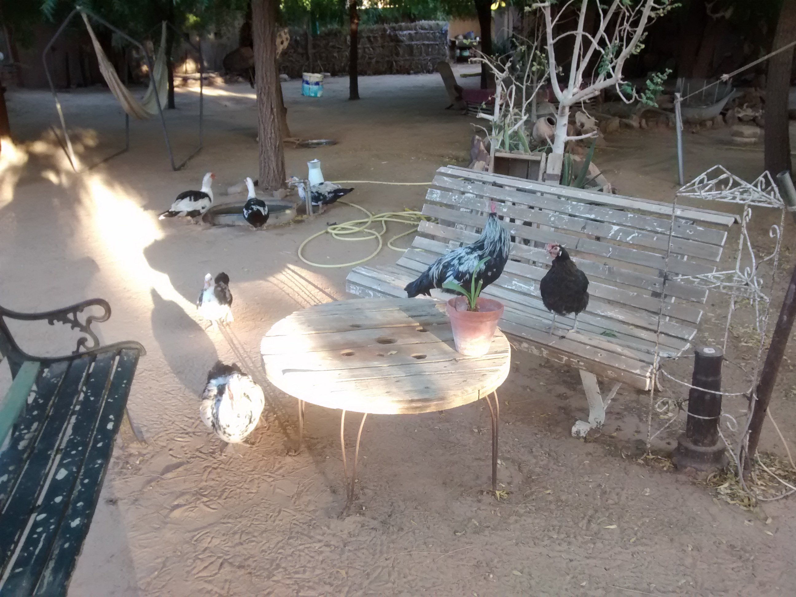 Resident ducks and chickens at auberge in Mauritania.